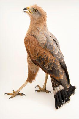 Photo: Savanna hawk (Buteogallus meridionalis) at Parque Jaime Duque near Bogota, Colombia.