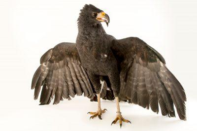 Photo: Great black hawk (Buteogallus urubitinga) at Parque Jaime Duque near Bogota, Colombia.