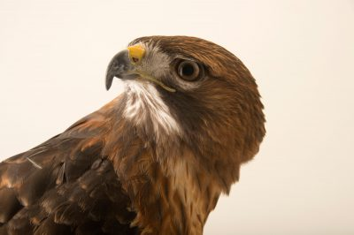 Photo: Florida red-tailed hawk (Buteo jamaicensis umbrinus) at the Conservancy of Southwest Florida in Naples, Florida.