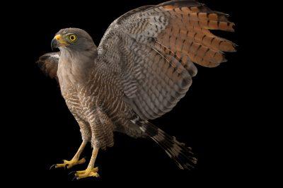 Roadside hawk (Rupornis magnirostris magnirostris) at Cafam Zoo