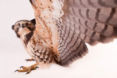 Photo: A Swainson's hawk, Buteo swainsoni.