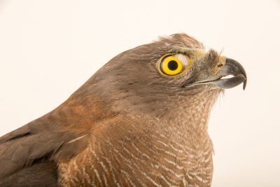 Photo: A female brown goshawk (Accipiter fasciatus) at Healesville Sanctuary.