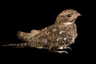 Photo: A common nighthawk (Chordeiles minor) at Rogers Wildlife Rehabilitation Center.