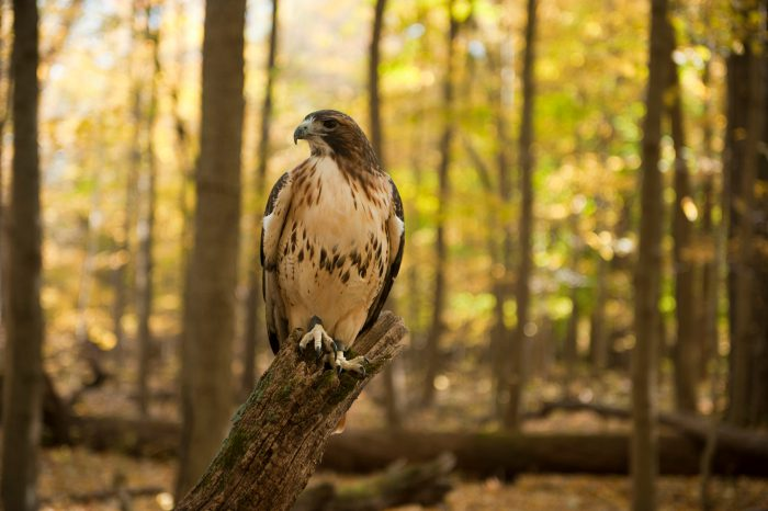 Photo: A captive red-tailed hawk (Buteo jamaicensis) at Ryerson Woods in Deerfield, IL.
