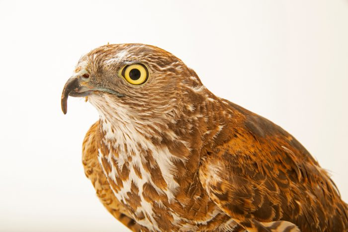 Photo: A young, male brown goshawk (Accipiter fasciatus) at Moonlit Sanctuary.