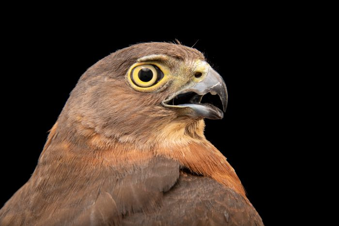 Photo: Japanese sparrowhawk (Accipiter gularis) at the Avilon Zoo.