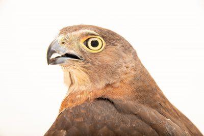 Photo: Japanese sparrowhawk (Accipiter gularis) at the Avilon Zoo.