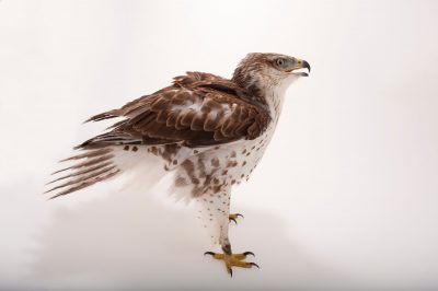 Photo: A ferruginous hawk (Buteo regalis) at the Sutton Avian Research Center.