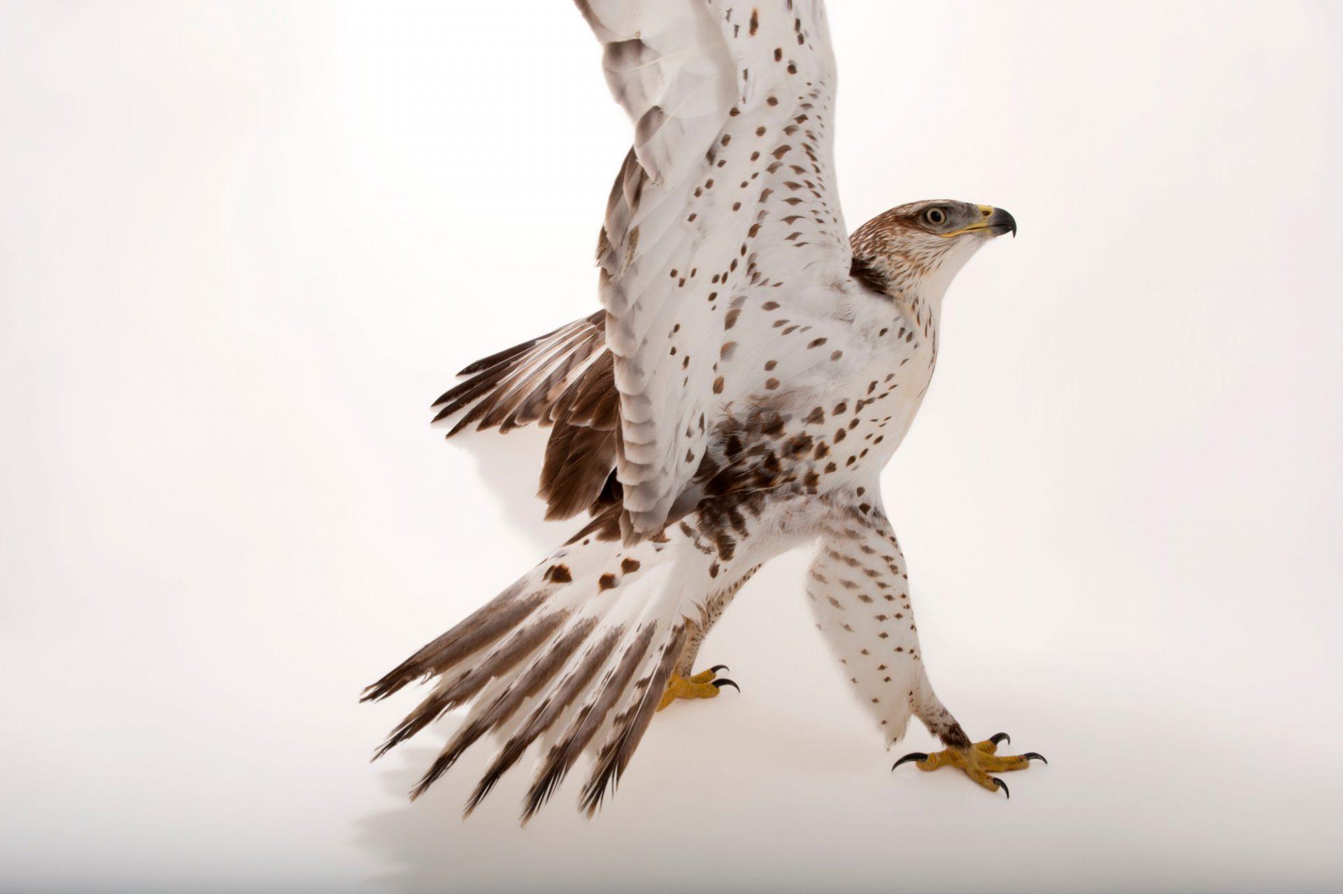 Photo: A ferruginous hawk (Buteo regalis) at the Sutton Avian Research Center.
