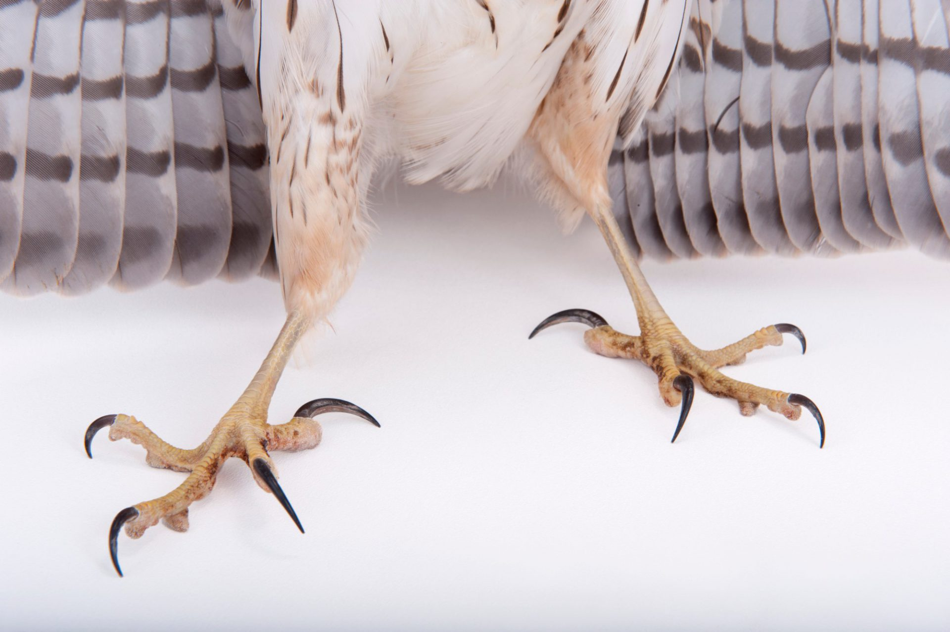 Photo: A Cooper's hawk (Accipiter cooperii) at Raptor Recovery Nebraska.