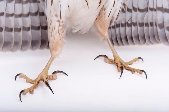 Photo: A Cooper's hawk (Accipiter cooperii) at Raptor Recovery Nebraska.