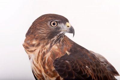 Photo: A broadwing hawk (Buteo platypterus) at Raptor Recovery Nebraska.