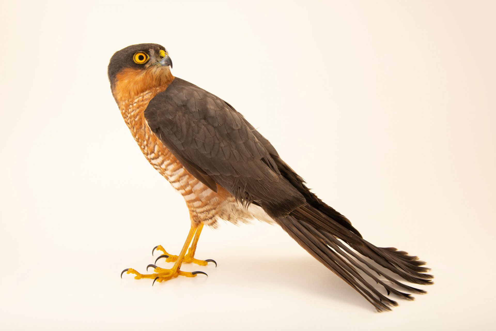 Photo: A Eurasian sparrowhawk (Accipiter nisus nisus) at Parque Biologico.