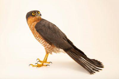 Photo: A Eurasian sparrowhawk (Accipiter nisus nisus) at Parque Biologico.