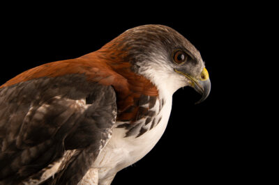 Photo: A puna hawk (Geranoaetus polyosoma poecilochrous) at Zoologico de Quito.