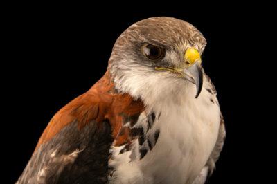Photo: A puna hawk (Geranoaetus polyosoma poecilochrous) at Zoologico de Quito.