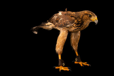 Photo: A juvenile, female, Harris's hawk (Parabuteo unicinctus unicinctus) at Zoologico de Quito.