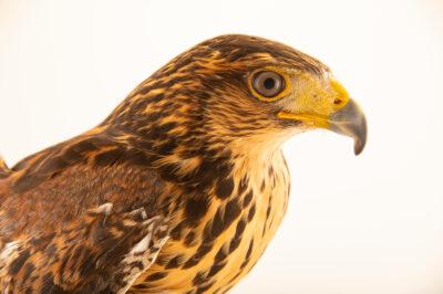 Photo: A juvenile, female, Harris's hawk (Parabuteo unicinctus unicinctus) at Zoologico de Quito.