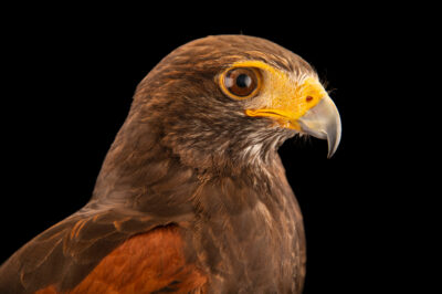 Photo: A male, Harris's hawk (Parabuteo unicinctus unicinctus) at Zoologico de Quito.