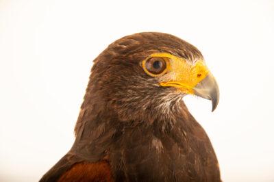 Photo: A male, Harris's hawk (Parabuteo unicinctus unicinctus) at Zoologico de Quito.