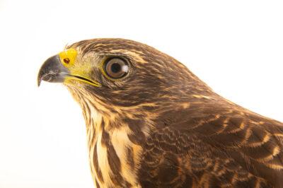 Photo: A roadside hawk (Rupornis magnirostris magniplumis) at the Membeca Lagos Farm, near Rio de Janeiro, Brazil.