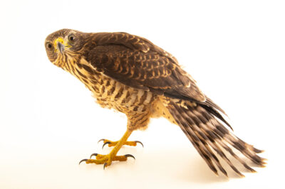 Photo: A roadside hawk (Rupornis magnirostris magniplumis) at the Membeca Lagos Farm, near Rio de Janeiro, Brazil.