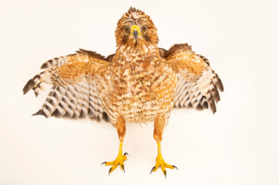 Photo: A California red-shouldered hawk (Buteo lineatus elegans) at the Avian Biodiversity Center.