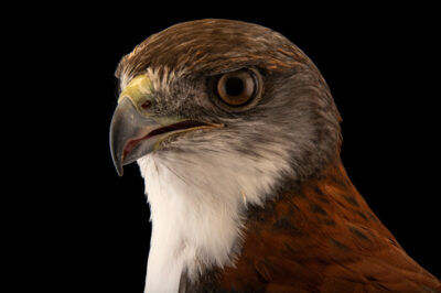 Photo: A variable hawk (Geranoaetus polyosoma polyosoma) at the Santiago Zoo in Chile.