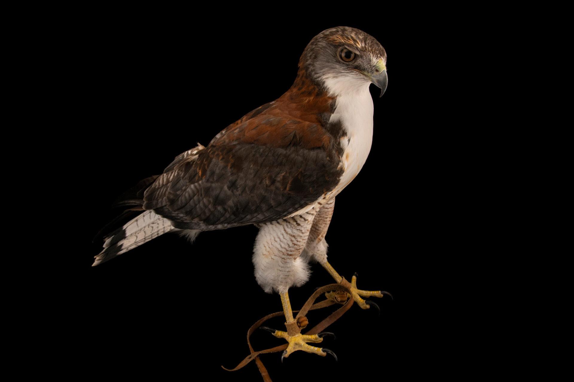 Photo: A variable hawk (Geranoaetus polyosoma polyosoma) at the Santiago Zoo in Chile.
