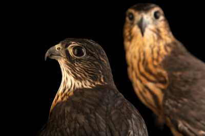 Photo: A pair of prairie merlin (Falco columbarius richardsonii) at Wild at Heart, a raptor rehab center in Cave Creek, AZ. The male is smaller and more dark brown.