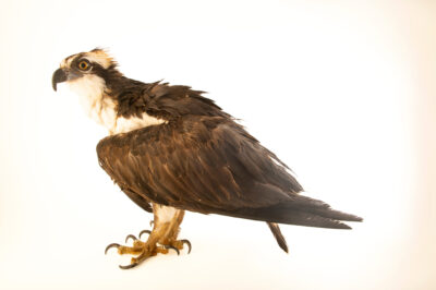 Photo: An osprey (Pandion haliaetus carolinensis) at Wild at Heart, a raptor rehab center in Cave Creek, AZ.