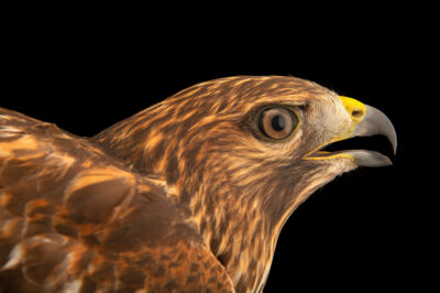 Photo: A red-shouldered hawk (Buteo lineatus alleni or Buteo lineatus extimus) at Houston SPCA's Wildlife Center of Texas.