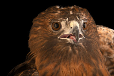 Photo: A southwestern red-tailed hawk, Buteo jamaicensis fuertesi, at Wild At Heart in AZ.