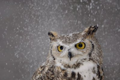 Photo: Snow falls on a captive great horned owl at a raptor recovery center near Gibbon, Nebraska.