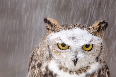 Photo: Snow falls on a captive great horned owl at a raptor recovery center near Gibbon, Nebraska.