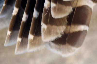 Photo: A close up of barred owl (Strix varia) feathers at a raptor recovery center near Elmwood, Nebraska.
