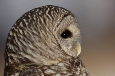 Photo: A barred owl (Strix varia) at a raptor recovery center near Elmwood, Nebraska.