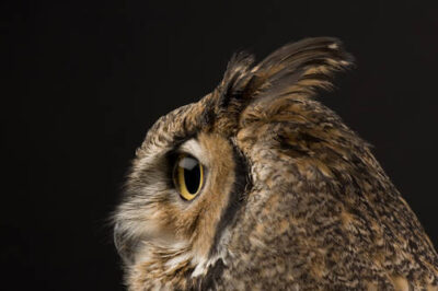 A portrait of a great horned owl (Bubo virginianus subarcticus).