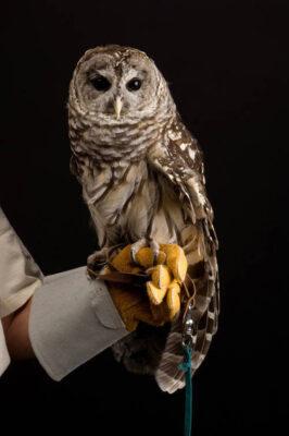 A portrait of a barred owl (Strix varia varia).