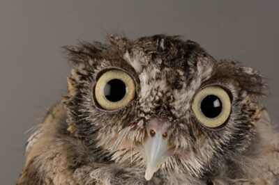 An eastern screech owl (Megascops (Otus) asio).