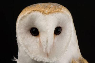 Photo: A European barn owl (Tyto alba alba) at the Raptor Recovery Center, Nebraska.