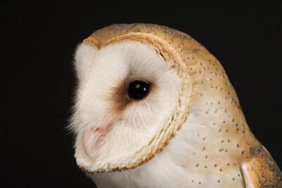 Photo: An American barn owl (Tyto alba pranticola) at the Raptor Recovery Center, Nebraska.