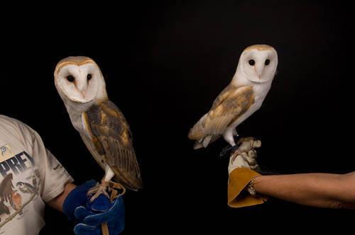 Photo: A European barn owl (Tyto alba alba) on the right and an American barn owl (Tyto alba pranticola) on the left at the Raptor Recovery Center, Nebraska.