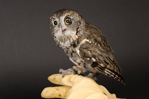 An eastern screech owl (Megascops asio) at the Sunset Zoo. This bird was hit by a car.