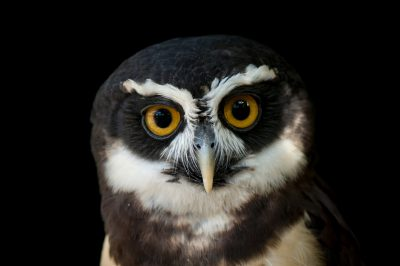 A spectacled owl (Pulsatrix perspicillata) at the Sedgwick County Zoo.