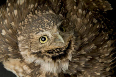 Photo: A burrowing owl (Athene cunicularia) at the Denver Zoo.