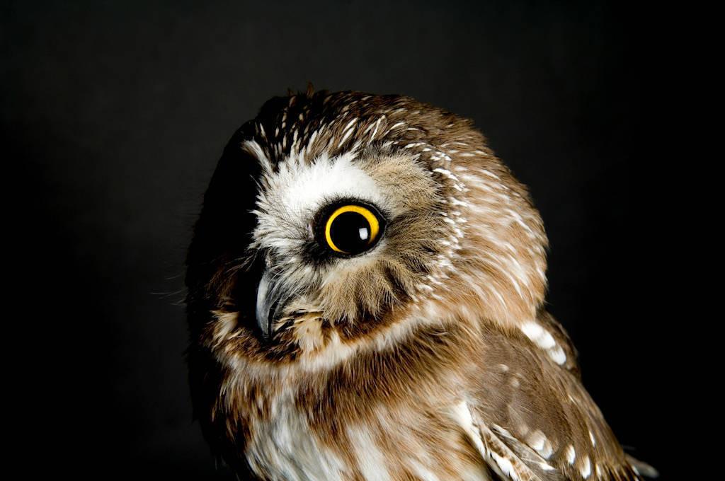 A saw-whet owl (Aegolius acadicus acadicus) at the Denver zoo.