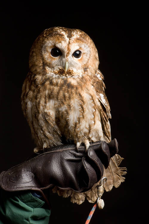 Photo: A tawny owl (Strix aluco) at Reptile Gardens.