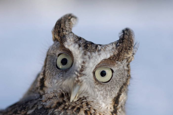 An eastern screech owl, (Megascopes asio), at a raptor recovery center near Lincoln, NE.