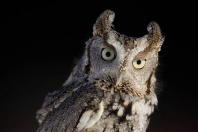 Photo: An eastern screech owl, (Megascopes asio), at a raptor recovery center near Lincoln, NE.